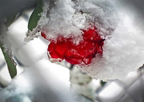A rose in the snow <
